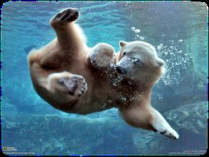 polar bear swmiing